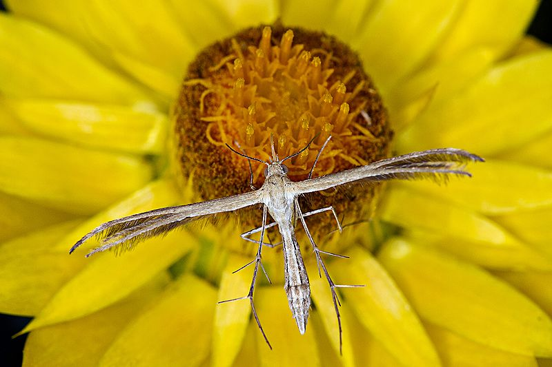 This unusual-looking insect is still a moth. (Pictured: a plume moth sitting on a sunflower.)