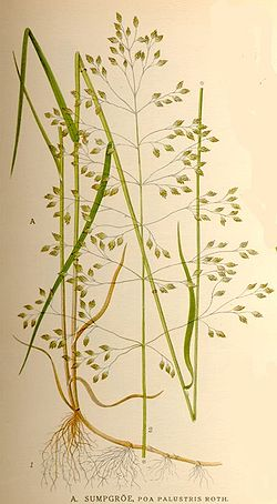 Poa palustris.jpg