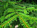 Podlaskie - Suprasl - Kopna Gora - Arboretum - Picea orientalis - branch.JPG