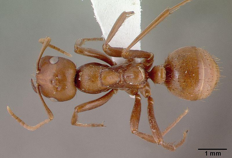 File:Polyergus rufescens casent0010688 dorsal 1.jpg