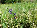 Polygala vulgaris subsp. vulgaris sl2.jpg