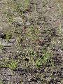 Polygonum aviculare ssp. neglectum Oulu, Finland 25.07.2013.jpg