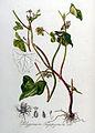 Polygonum fagopyrum — Flora Batava — Volume v8.jpg