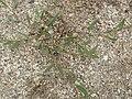 Polygonum oxyspermum subsp. raii plant (02).jpg