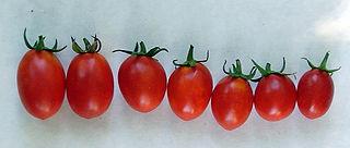 Pomodorino di Manduria