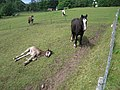 Pony and Foal, near Trekking Centre in Flowerdale - geograph.org.uk - 64305.jpg