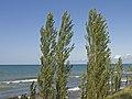 Poplars in the Pinery Provincial Park.jpg