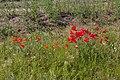 Poppies in field - geograph.org.uk - 525178.jpg
