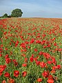 Poppy field near Ryton - geograph.org.uk - 1335290.jpg