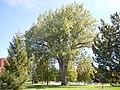 Populus deltoides (5026724621).jpg