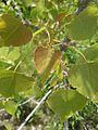 Populus deltoides subsp monilifera 2.jpg
