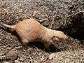 Prairie dog 32.jpg