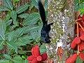 Prevost's Squirrel (Callosciurus prevostii pluto) (8082915325).jpg