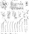Prionospio parapari (10.3897-zookeys.810.26910) Figure 4.jpg
