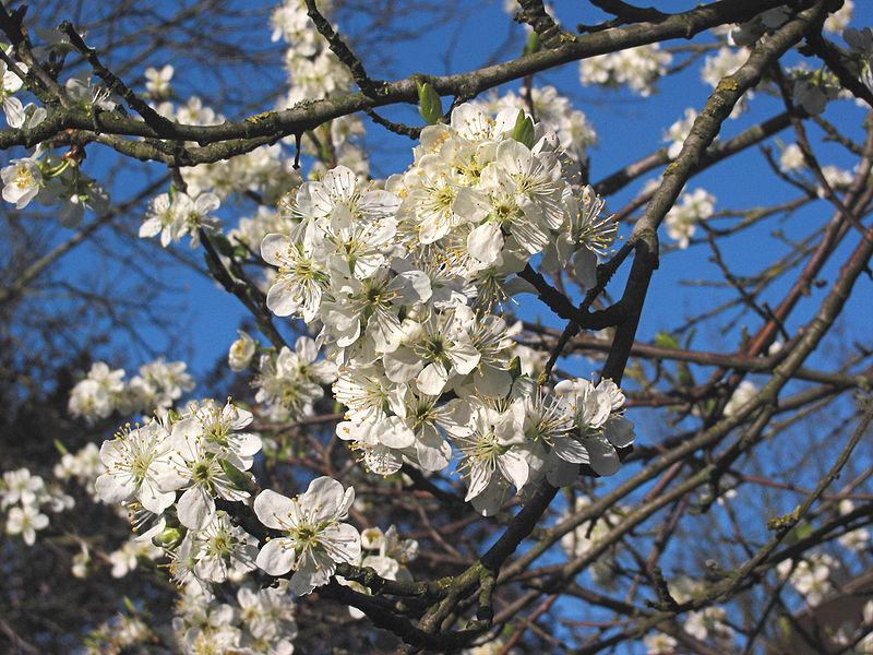 File:Pruimenbloesem Opal tak (Prunus domestica).jpg