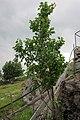 Prunus armeniaca - Aprikostre Fjørå.jpg