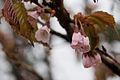 Prunus nipponica 04.jpg