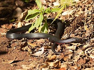 Red-bellied black snake - At Lamington National Park, Queensland