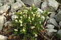 Pseudofumaria alba PID803-1.jpg