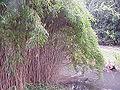 Pseudosasa japonica3.jpg
