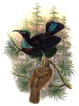 Ptiloris victoriae by Bowdler Sharpe