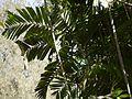 Ptychosperma macarthurii (4610579739).jpg
