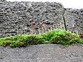Ptychostomum capillare 107442007.jpg