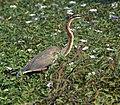 Purple Heron, Thoi, Gujarat 1.jpg
