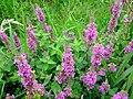 Purple Loosestrife (Lythrum salicaria) - geograph.org.uk - 942585.jpg