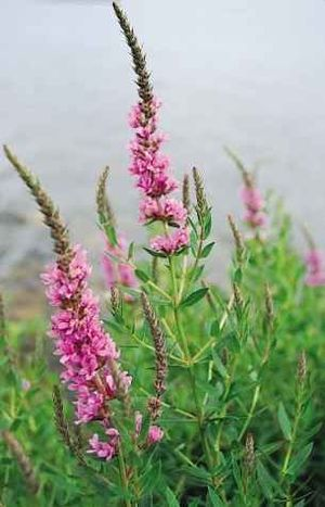 Lythraceae - Lythrum salicaria