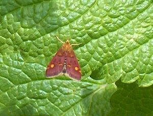 English: The Mint moth (Pyrausta aurata) on Le...