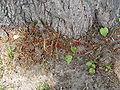 Pyrrhocoris apterus 2009 16.JPG