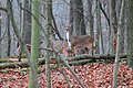Quartet of Deer in Wooded Area, Hammel Road Brighton, Michigan - panoramio.jpg