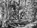 Queensland State Archives 1004 A Mutton Bird Track in Pisonia Grove Capricorn Group Great Barrier Reef 1931.png