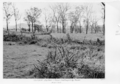 Queensland State Archives 4291 Harrisia and trees destroyed by poison Tent Hill Gatton 1950.png