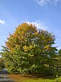 Quercus palustris 001.jpg