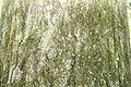 Quercus rubra 101zz.jpg