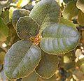 Quercustomentella2.JPG
