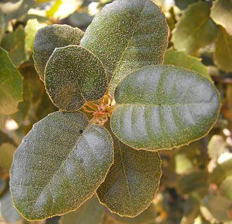 Quercus tomentella - Foliage