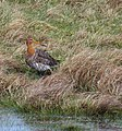Rödspov Black-tailed Godwit (14102918633).jpg