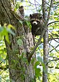 Raccoon (11800259973).jpg