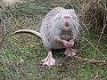 Ragondin (Myocastor coypus) (05).jpg