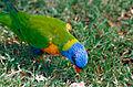 Rainbow Lorikeet (Trichoglossus moluccanus) (9935384544).jpg