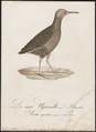 Rallus aquaticus - 1800-1812 - Print - Iconographia Zoologica - Special Collections University of Amsterdam - UBA01 IZ17500013.tif