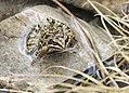 Rana holtzi - Taurus frog 01.jpg