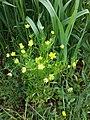Ranunculus arvensis sl4.jpg