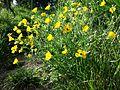 Ranunculus bulbosus sl2.jpg