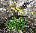 Ranunculus pedatifidus IMG 4188 fliksoleie endalen.JPG