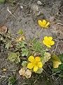 Ranunculus sardous RHu 01.JPG
