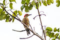 Red-bellied woodpecker (24712587630).jpg